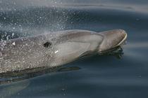 Tatooine, ein GRD-Patendelfin aus Peru von Gesellschaft zur Rettung der Delphine e.V.